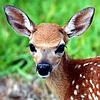 Fallow Deer Puzzle